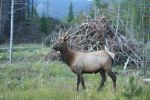 elk bull growing his horns