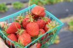 Swanton Berry Farm Basket of Strawberries