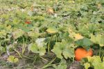 Swanton Berry Farm Pumpkin Patch